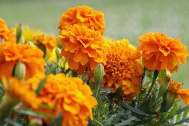 گل، گل جعفری ، گل پاییزی، خرید گل