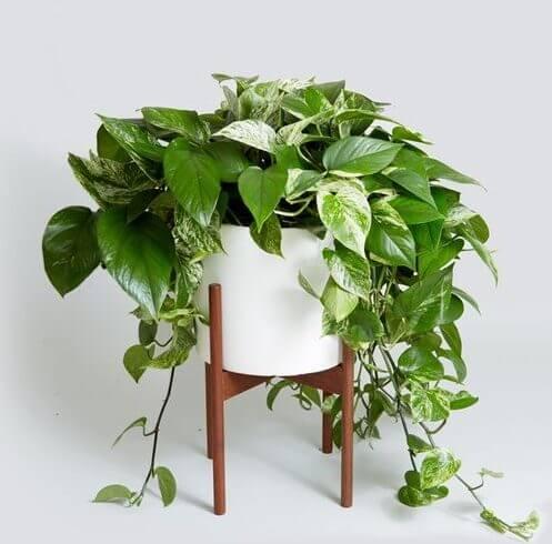 گیاه پوتوس - گل پوتوس