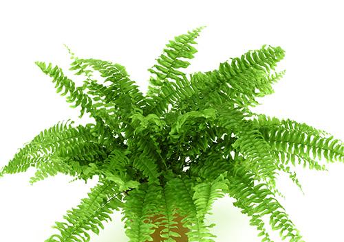 گیاه sword fern