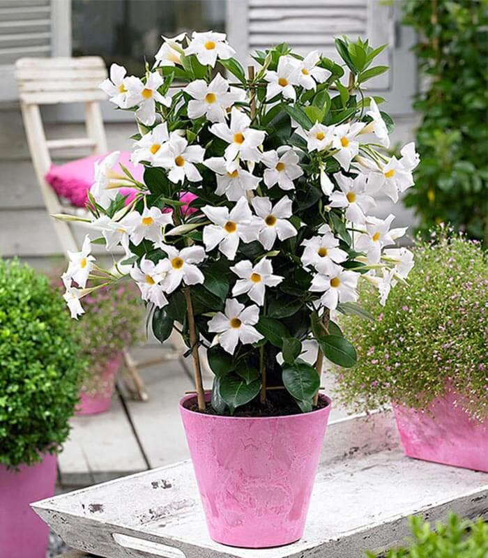گل یاسمن گلدان یاسمن