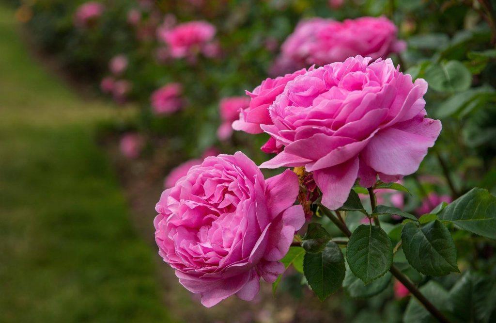 گل سرخ - خواص گل سرخ - دمنوش گل سرخ - گل محمدی