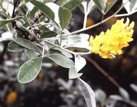 گل سیتیسوس