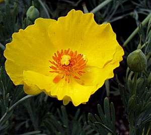 گل شقایق مکزیکی
