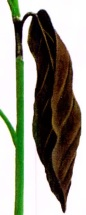 پوسیدگی برگ و ساقه- گلفروشی آنلاین VIP Shop