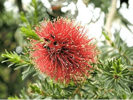 گل کونزا باکستریا