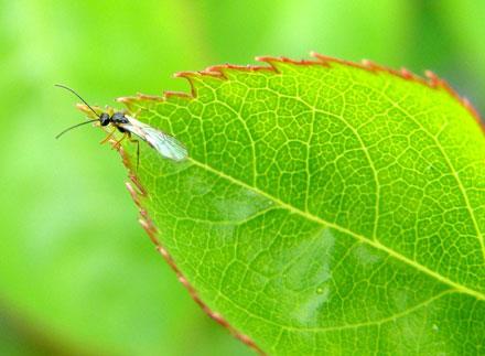 [عکس: beneficials_aphidoletes-leaf.jpg]