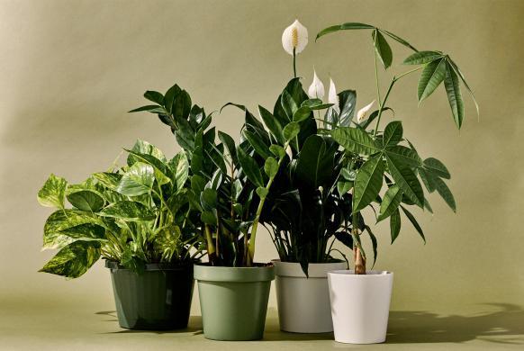 معرفی گل های آپارتمانی (بخش سوم)- گلفروشی آنلاین VIP Shop