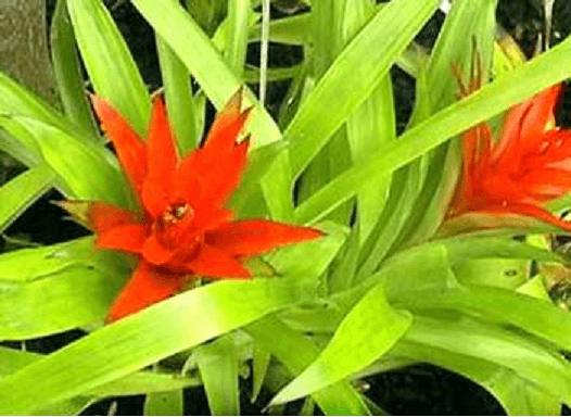 گل گازمانیا
