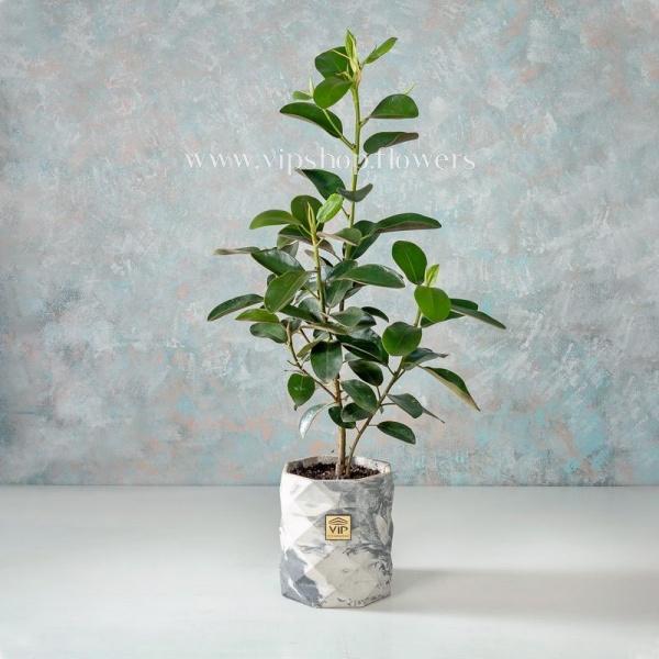 گلدان آپارتمانی فیکوس جنگلی- گلفروشی آنلاین VIP Shop