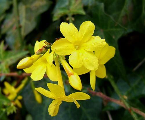 گل یاس زمستانی