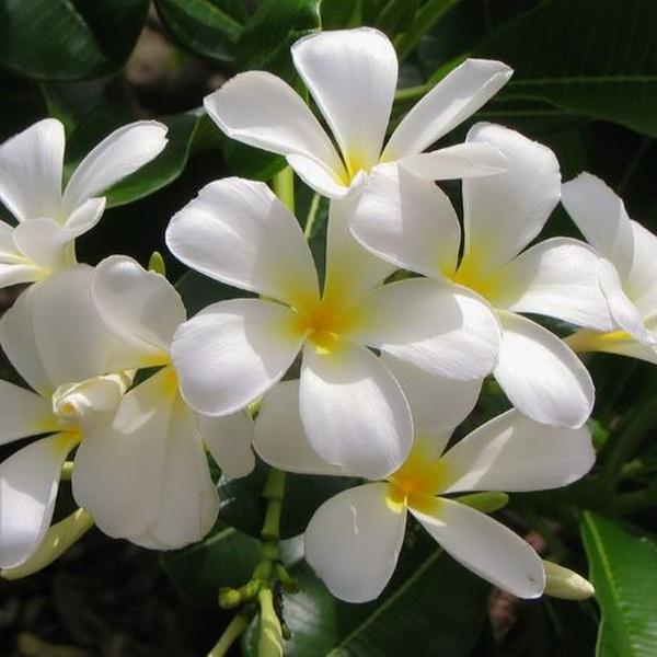 عکس گل یاسمن