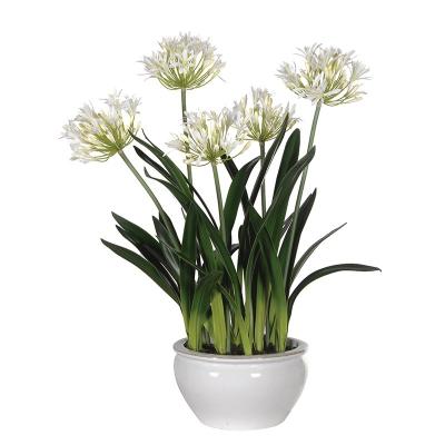گیاه آگاپانتوس- گلفروشی آنلاین VIP Shop