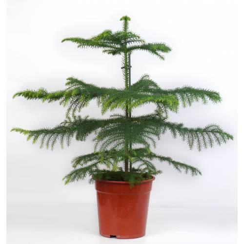 گیاه آپارتمانی کاج مطبق یا آروکاریا