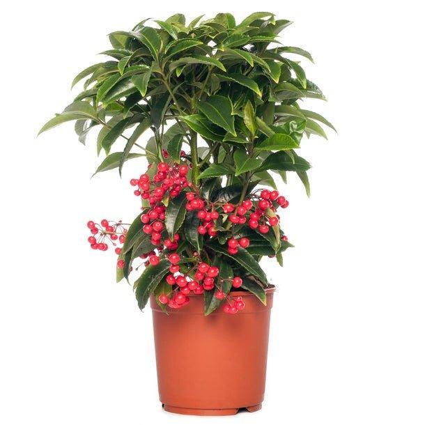 گیاه آپارتمانی آردیسیا