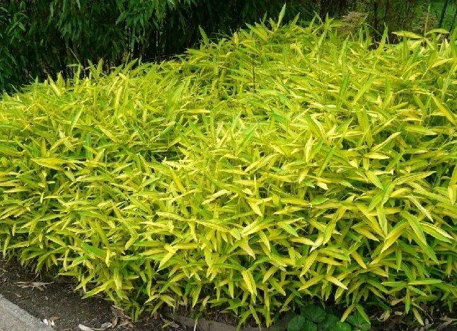 گیاه خانگی آروندیناریا