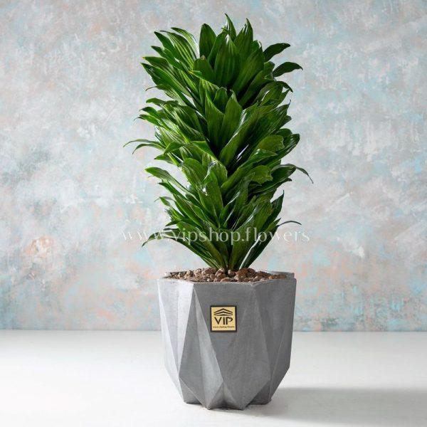 هر آنچه که در مورد گیاه دراسنا کامپکت باید بدانید