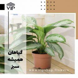 گیاهان همیشه سبز - vip shop