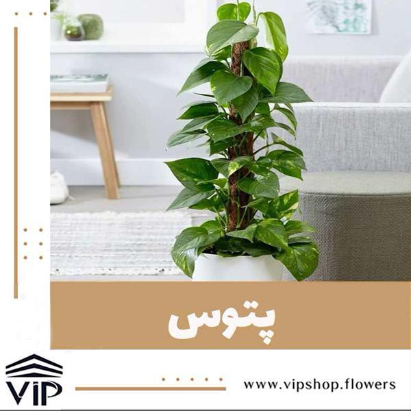 گلدان بالارونده پتوس- VIPshop